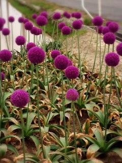 紫の、、、。_d0178587_1346301.jpg