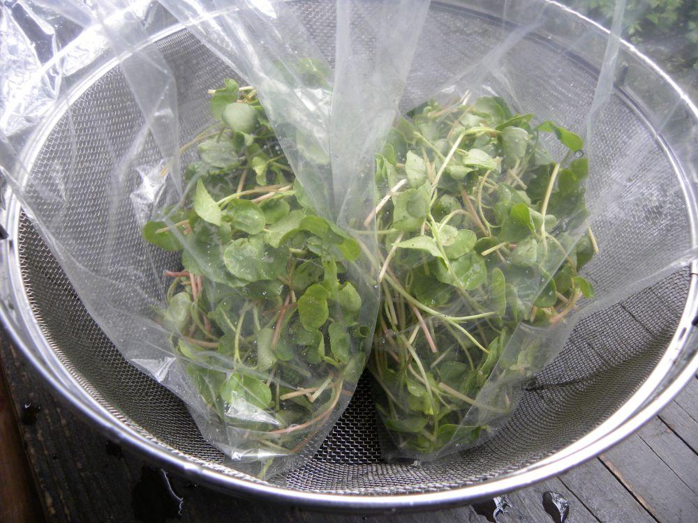 サラダ蕎麦 収穫です・・・。_b0329588_17181045.jpg