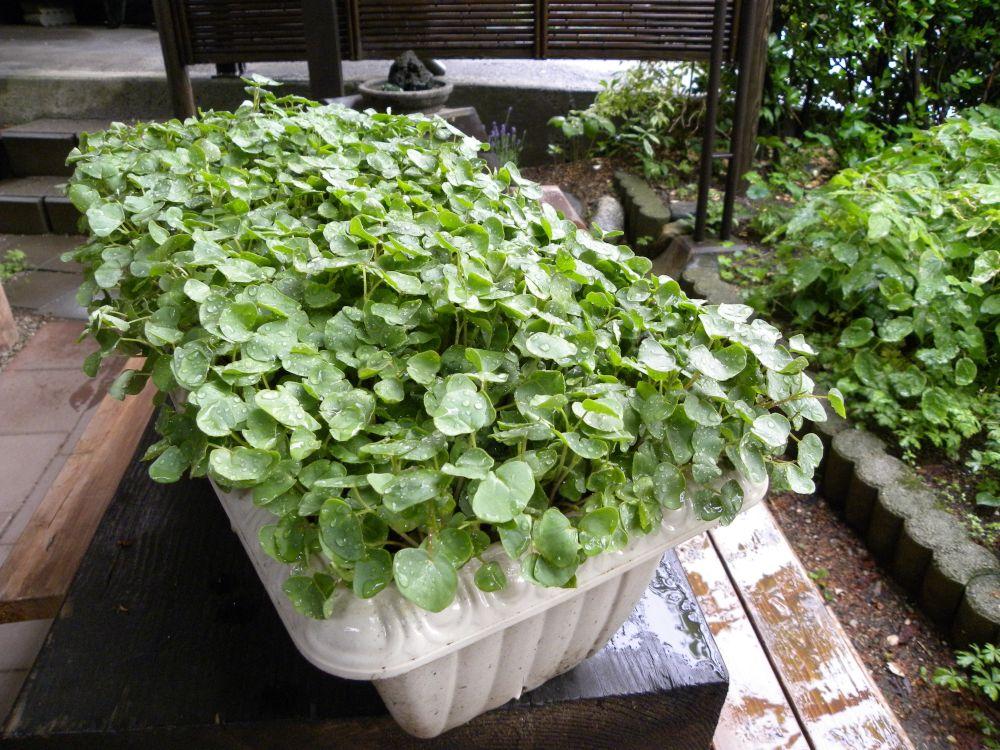 サラダ蕎麦 収穫です・・・。_b0329588_17184253.jpg