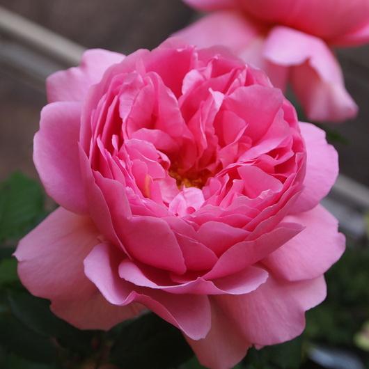 イングリッシュローズが咲いてきました。_a0292194_15105491.jpg