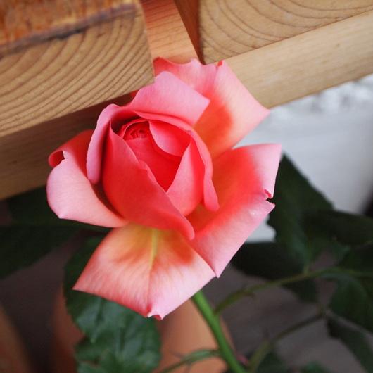 イングリッシュローズが咲いてきました。_a0292194_15152214.jpg