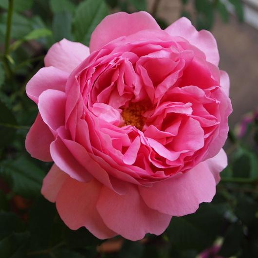 イングリッシュローズが咲いてきました。_a0292194_15162980.jpg