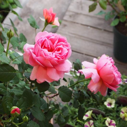 イングリッシュローズが咲いてきました。_a0292194_15202597.jpg