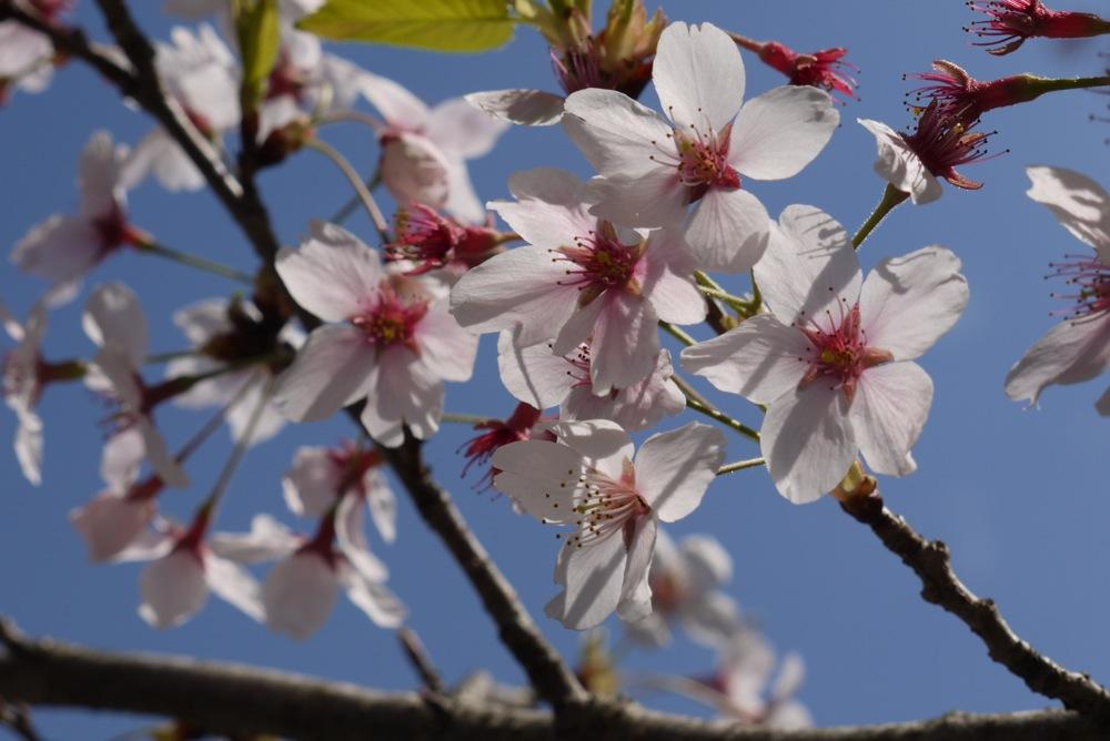 春なのに赤いもみじ_d0001843_0125980.jpg