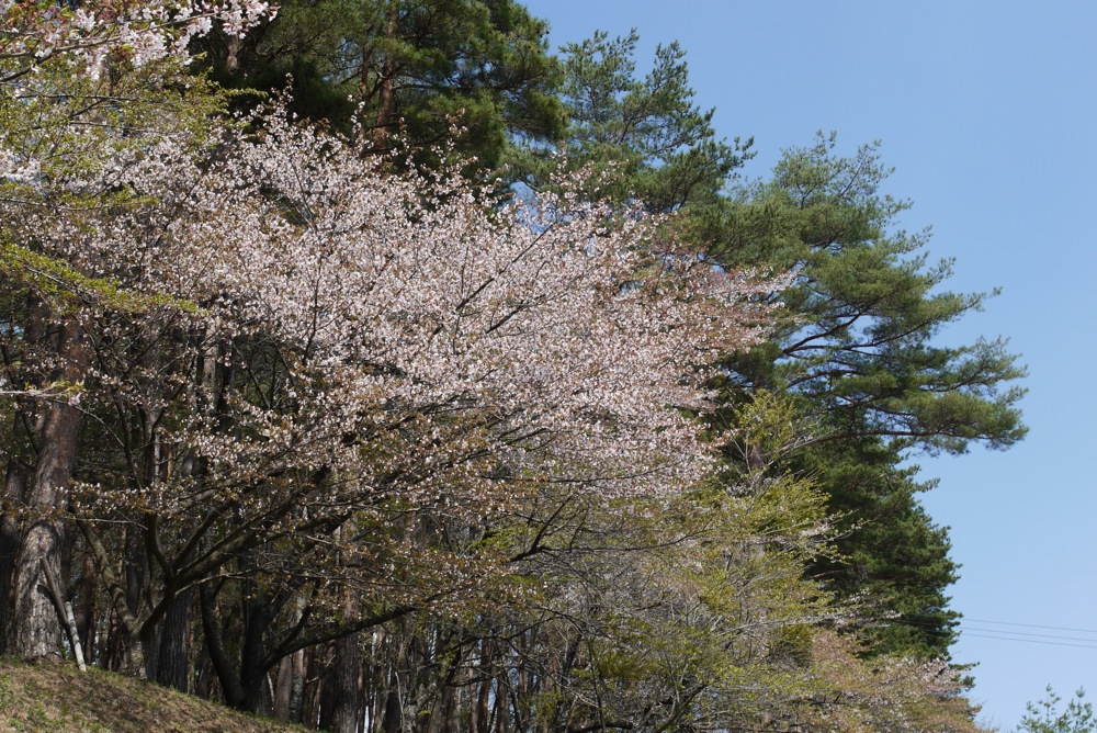 春なのに赤いもみじ_d0001843_0135911.jpg