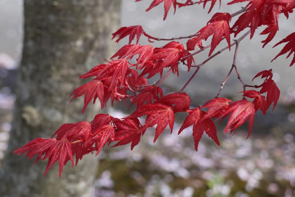 春なのに赤いもみじ_d0001843_06932.jpg