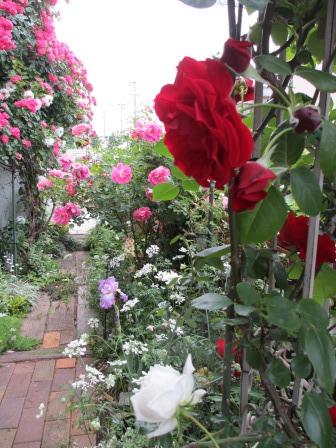 紅白の芍薬とオルレア_a0243064_08155693.jpg