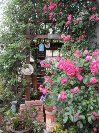 紅白の芍薬とオルレア_a0243064_08182589.jpg
