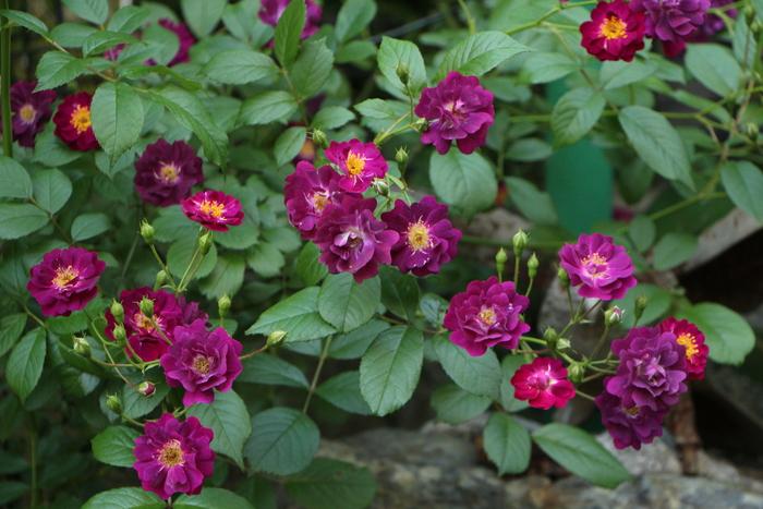 バラの季節から初夏の花へ_d0150720_1042369.jpg