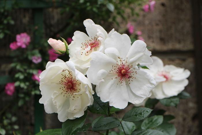 バラの季節から初夏の花へ_d0150720_10474421.jpg