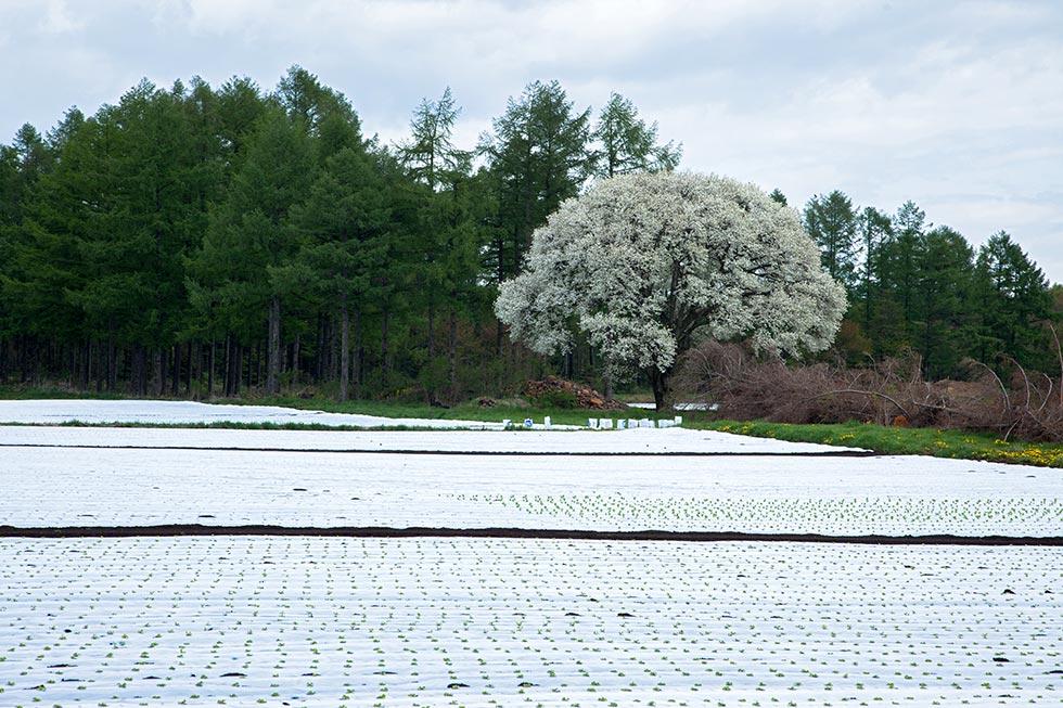 野辺山のヤマナシはほぼ例年並みに咲いています_b0179231_00092526.jpg