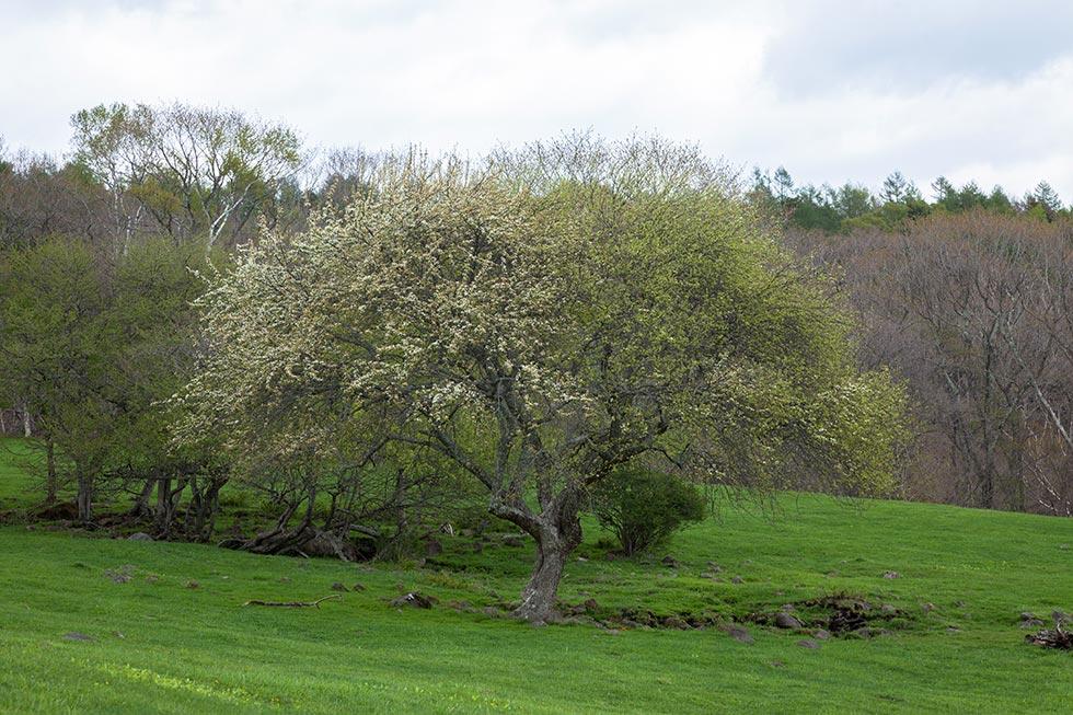 野辺山のヤマナシはほぼ例年並みに咲いています_b0179231_00092540.jpg
