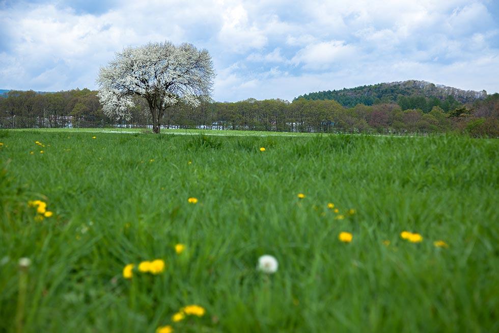 野辺山のヤマナシはほぼ例年並みに咲いています_b0179231_00092587.jpg