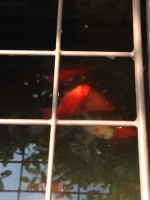 金魚さん、ピンチ!_d0322040_10511953.jpg