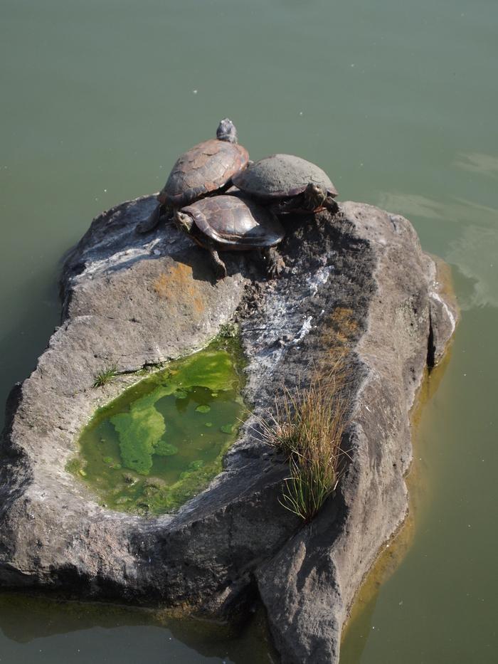 「世界カメの日」清澄庭園のカメさん_d0152261_21444674.jpg