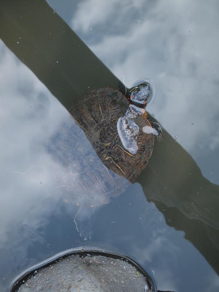 「世界カメの日」清澄庭園のカメさん_d0152261_21453578.jpg