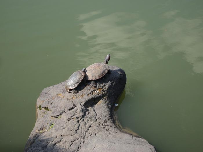 「世界カメの日」清澄庭園のカメさん_d0152261_21544637.jpg