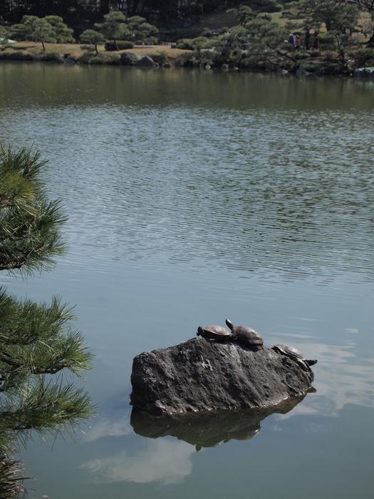 「世界カメの日」清澄庭園のカメさん_d0152261_2154711.jpg