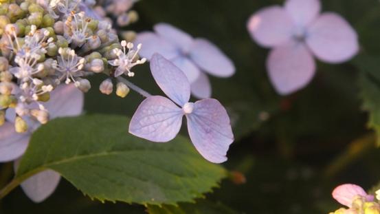 山紫陽花がきれいです_b0214473_2148021.jpg