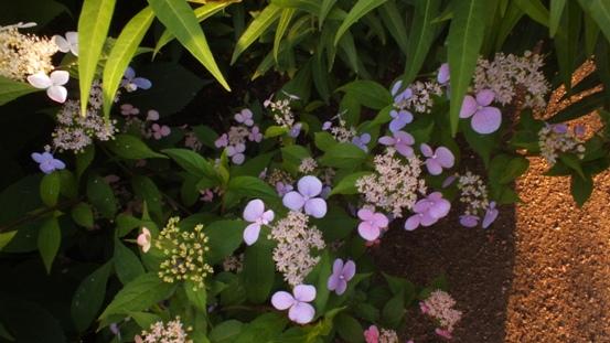山紫陽花がきれいです_b0214473_21482024.jpg