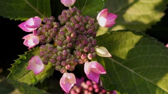 山紫陽花がきれいです_b0214473_21483443.jpg
