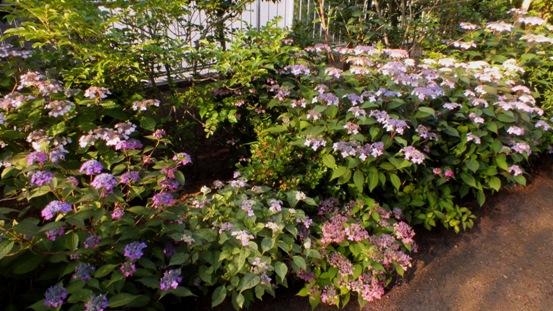 山紫陽花がきれいです_b0214473_2149350.jpg