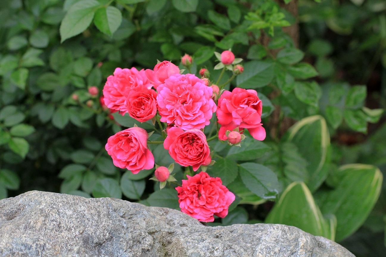 先代が植えてくれた薔薇  _a0107574_17595840.jpg