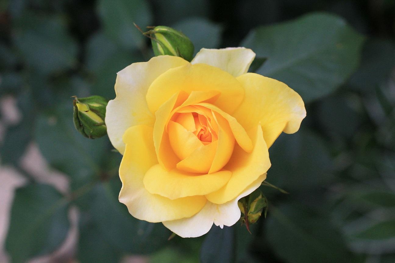 先代が植えてくれた薔薇  _a0107574_18001173.jpg