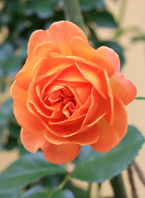 先代が植えてくれた薔薇  _a0107574_18001812.jpg