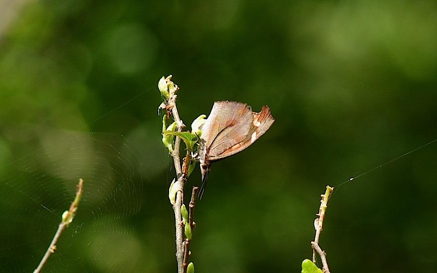 テングチョウ&タテハチョウ科の幼虫たち (2014年5月24日)_d0303129_0161086.jpg