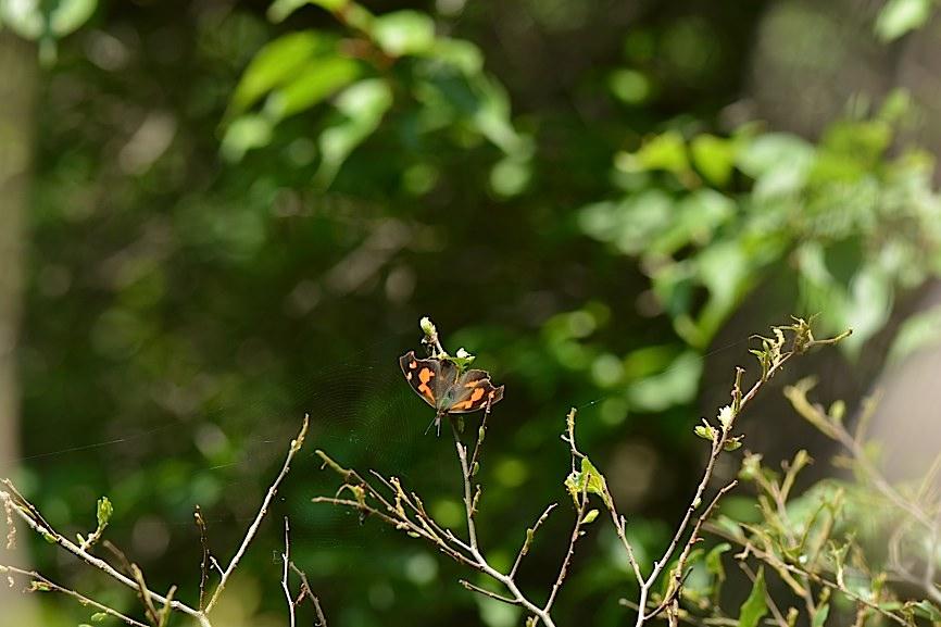 テングチョウ&タテハチョウ科の幼虫たち (2014年5月24日)_d0303129_0161530.jpg
