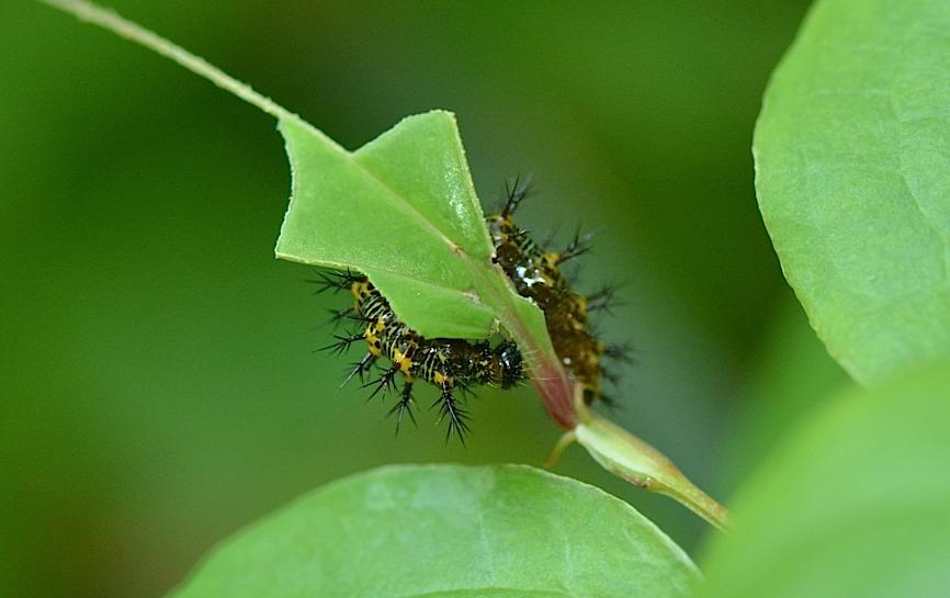 テングチョウ&タテハチョウ科の幼虫たち (2014年5月24日)_d0303129_0171164.jpg