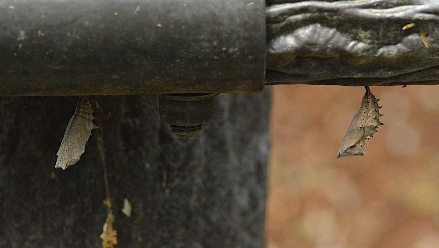 テングチョウ&タテハチョウ科の幼虫たち (2014年5月24日)_d0303129_0173628.jpg