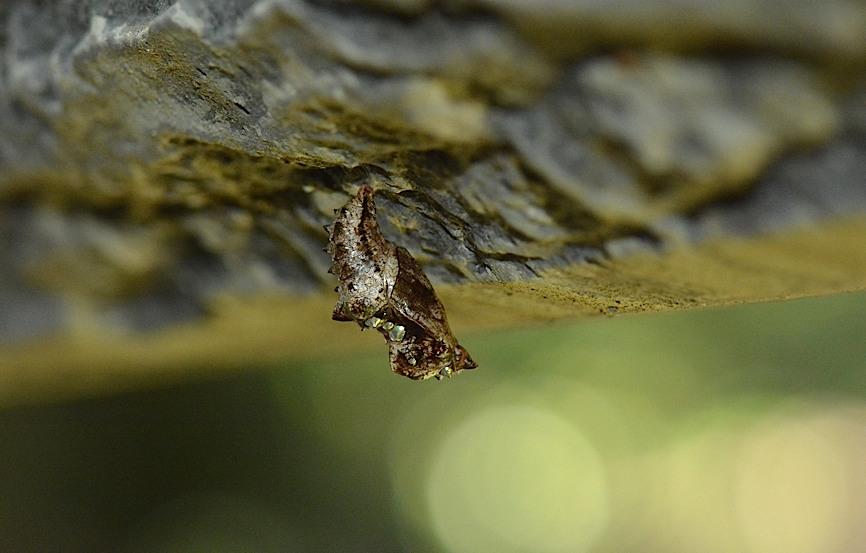 テングチョウ&タテハチョウ科の幼虫たち (2014年5月24日)_d0303129_0181037.jpg