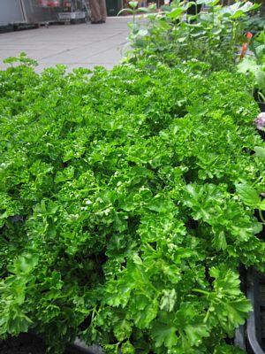 夏野菜苗たくさんあります!_c0141652_13363123.jpg