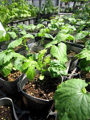 夏野菜苗たくさんあります!_c0141652_1336484.jpg