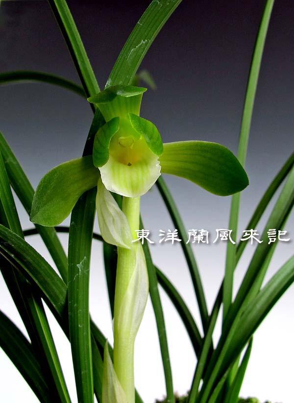日本春蘭「福寿丸」                   No.1401_d0103457_08359.jpg