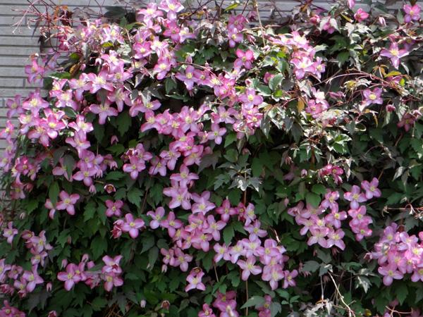 クレマチス・モンタナと、5月に咲いた花木♪_a0136293_16204040.jpg
