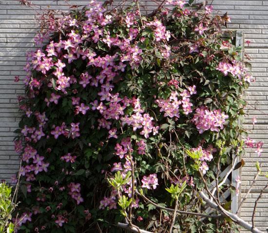 クレマチス・モンタナと、5月に咲いた花木♪_a0136293_16441167.jpg
