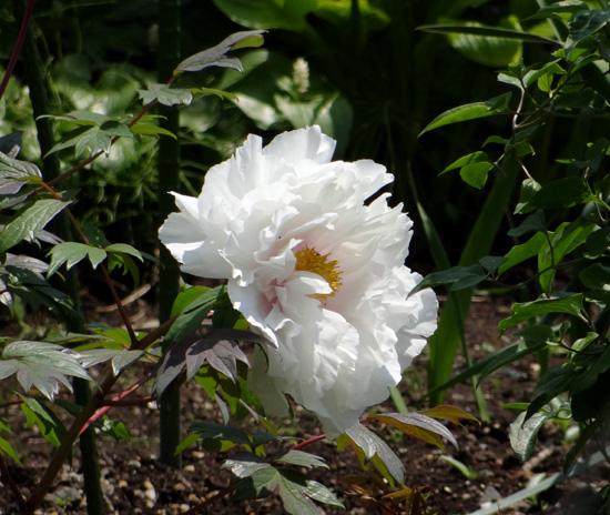 クレマチス・モンタナと、5月に咲いた花木♪_a0136293_16485262.jpg