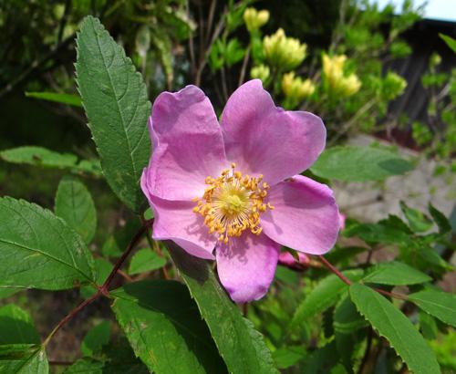 クレマチス・モンタナと、5月に咲いた花木♪_a0136293_16505086.jpg
