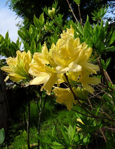 クレマチス・モンタナと、5月に咲いた花木♪_a0136293_1652291.jpg
