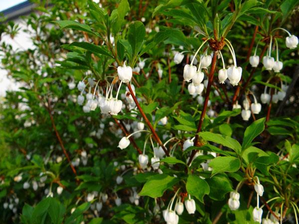 クレマチス・モンタナと、5月に咲いた花木♪_a0136293_16535360.jpg
