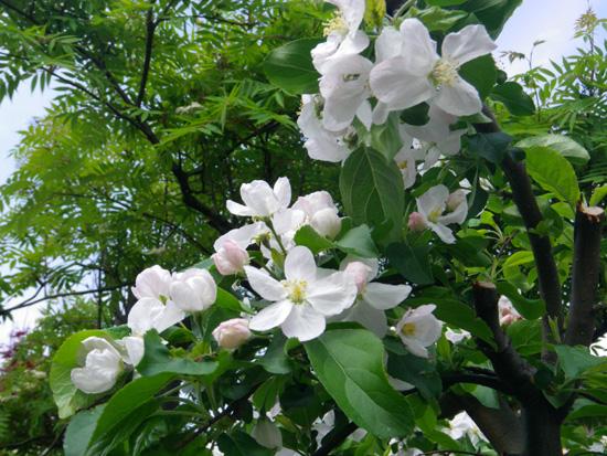 クレマチス・モンタナと、5月に咲いた花木♪_a0136293_165504.jpg