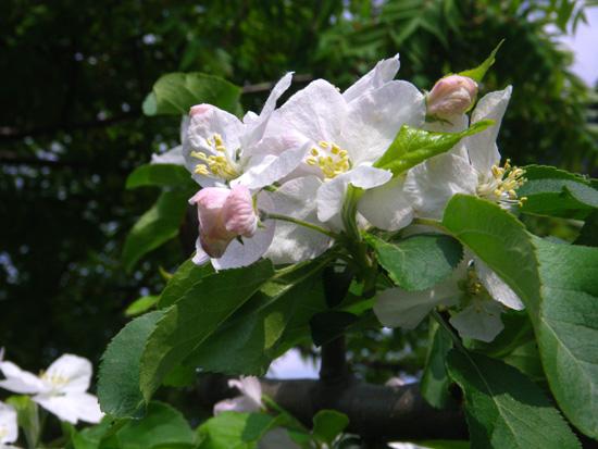クレマチス・モンタナと、5月に咲いた花木♪_a0136293_16562978.jpg