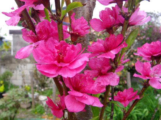 クレマチス・モンタナと、5月に咲いた花木♪_a0136293_1658714.jpg