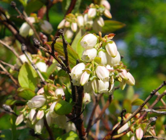クレマチス・モンタナと、5月に咲いた花木♪_a0136293_1705599.jpg