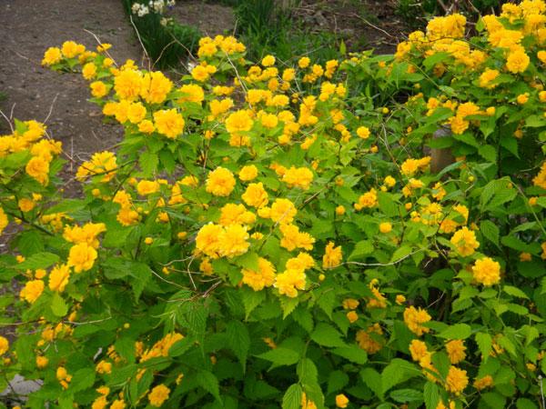 クレマチス・モンタナと、5月に咲いた花木♪_a0136293_170960.jpg