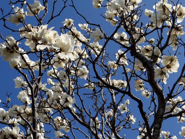 クレマチス・モンタナと、5月に咲いた花木♪_a0136293_1734545.jpg