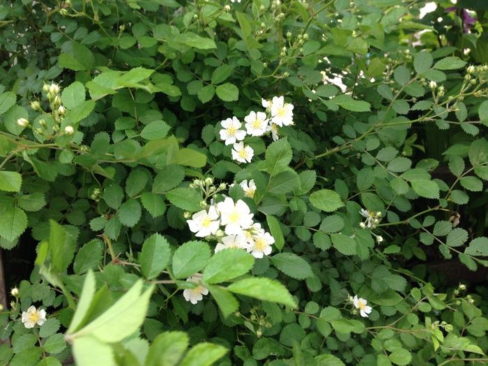 その後の花たち_f0223603_19125629.jpg